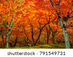 beautiful red maple leaves in... | Shutterstock . vector #791549731