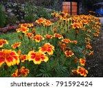 Beautiful Marigold Flowers In...