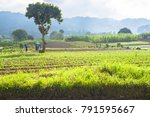 fields of cultivation in rural... | Shutterstock . vector #791595667