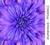 Blue Chrysanthemum Flower Head...