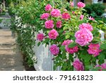 Stock photo climbing pink roses on white fence 79161823
