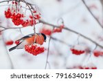 common bird bullfinch  ... | Shutterstock . vector #791634019