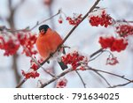 common bird bullfinch  ... | Shutterstock . vector #791634025