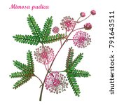 vector branch of outline mimosa ... | Shutterstock .eps vector #791643511