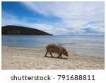 a pig walking in a sandy beach... | Shutterstock . vector #791688811
