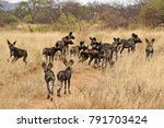 Pack Of Wild Dogs  Cape Huntin...