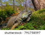 green iguana in tropical... | Shutterstock . vector #791758597