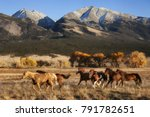 A group of horses running in a meadow in fall with a mountain backdrop at the Nature Conservancy Zapata Ranch in Colorado. - stock photo