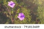 Single Of Purple Ruellias...