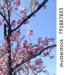 Small photo of The cherry blossoms that announce the spring are full of branches, but the eyes are lucent.