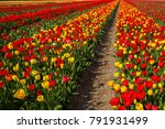 spring blooming tulip field.... | Shutterstock . vector #791931499