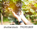 a hand holding the  grapes in...   Shutterstock . vector #791951809