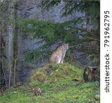 lynx is a big cat  it can...   Shutterstock . vector #791962795