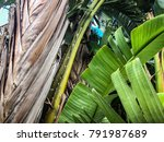 alocasia is a genus of broad...   Shutterstock . vector #791987689