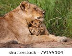 Stock photo lioness and cubs 79199104
