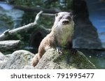 a curious otter who came to see ...   Shutterstock . vector #791995477
