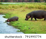 mother and baby hippos on chobe ... | Shutterstock . vector #791995774