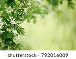 white tender spring flowers... | Shutterstock . vector #792016009