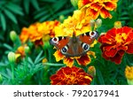 european peacock  aglais io ... | Shutterstock . vector #792017941