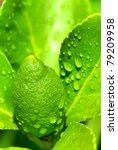 Green lemon on tree. - stock photo