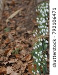 galanthus nivalis. snowdrop... | Shutterstock . vector #792106471