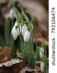 galanthus nivalis. snowdrop... | Shutterstock . vector #792106474