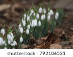 field with snowdrops. galanthus ... | Shutterstock . vector #792106531