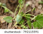 Green Shield Bug With Red Eyes...