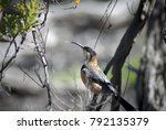 Small photo of Eastern Spinebill (Acanthorhynchus Tenuirostris) in a tree in Venus Bay, Victoria, Australia