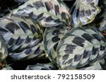 close up of a calathea leaves... | Shutterstock . vector #792158509