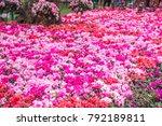 Wild Rose Flowering In Garden ...