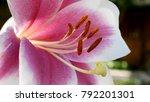 White Purple Lily Flower...
