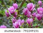group of magnolia flowers ...   Shutterstock . vector #792249151