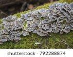 close up mushrooms on a log...   Shutterstock . vector #792288874