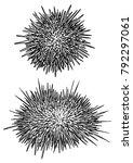 Sea urchin illustration, drawing, engraving, ink, line art, vector