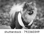 the wear  aggressive spitz dog... | Shutterstock . vector #792360349