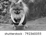 the wear  aggressive spitz dog... | Shutterstock . vector #792360355