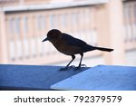 Small photo of closeup of gimpy grackle looking down