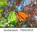 weather beaten monarch...   Shutterstock . vector #792419515
