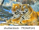 the amur or ussuri tiger  or... | Shutterstock . vector #792469141