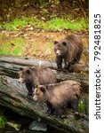 grizzly bear found on the west... | Shutterstock . vector #792481825