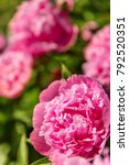 Small photo of lots of pink peonie blossoms on a bush, greetings for valentine and pentecost