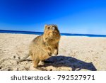 a curious quokka on the basin... | Shutterstock . vector #792527971