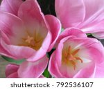 Pink Tulips Close Up. Cute Pin...