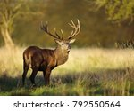Red Deer Stag In Autumn ...