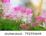 beautiful cleome spinosa or... | Shutterstock . vector #792554644