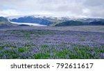 Iceland Lupins Near Glacier...