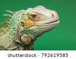 iguana  reptilian  exotic wild... | Shutterstock . vector #792619585