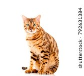Stock photo portrait of male bengal cat sitting down looking straight into camera cut out isolated on white 792631384