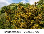 Gorse In Bloom. The Prickly...